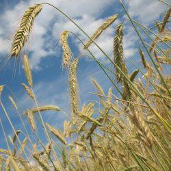 cereals-228726_1280